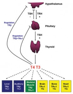 Functions of the Thyroid