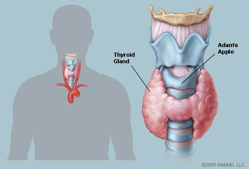 structure and function of thyroid gland pdf